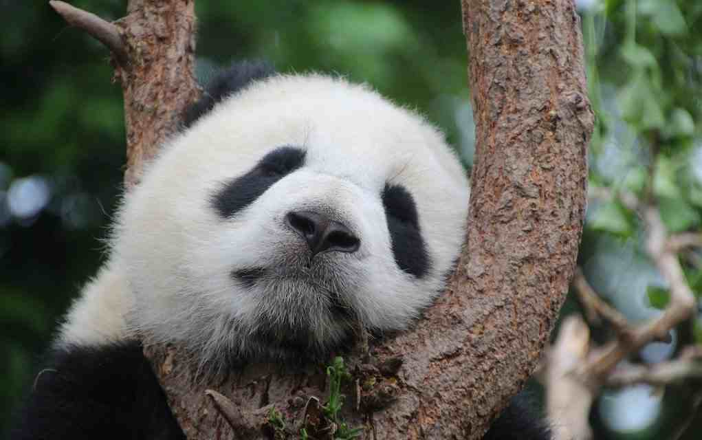 panda facts for kids